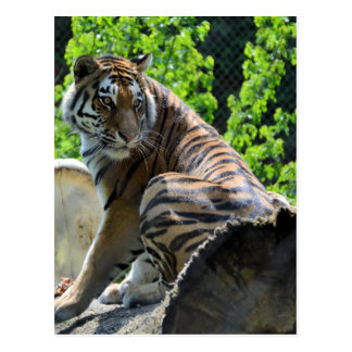 Amur Tiger (Siberian) Postcard