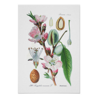 Amygdalus communis (Almond) Poster