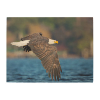 An adult Bald Eagle flies low over water Wood Canvas