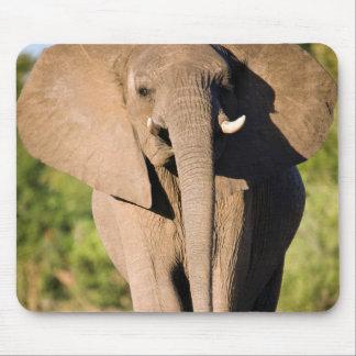 An African Elephant (Loxodonta Africana) Walks Mouse Pad