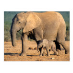An African Elephant mother and calf on the move