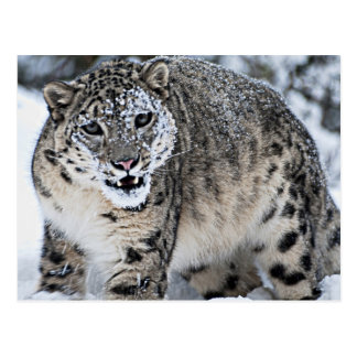 An Angry Snow Leopard Postcard