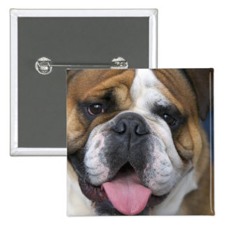 An english bulldog in Belgium. 2 Inch Square Button