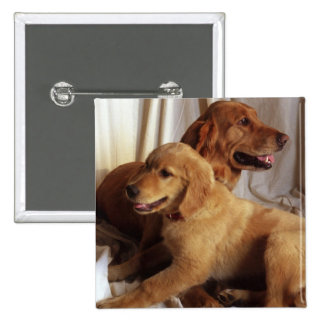 An older Golden Retriever and a puppy against 2 Inch Square Button