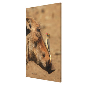 An Oxpecker on a warthogs snout, Isimangaliso, Canvas Print