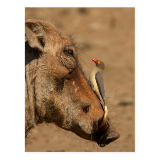 An Oxpecker on a warthogs snout, Isimangaliso, Postcard