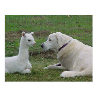 Anatolian shepherd and alpaca baby postcard