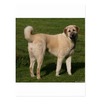 Anatolian Shepherd Dog Postcard