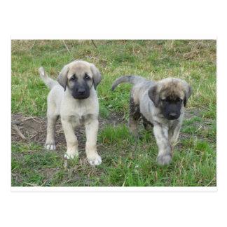Anatolian Shepherd Puppies Dog Postcard
