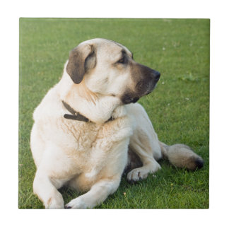Anatolian Shepherd Relaxing in Grass Ceramic Tile