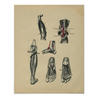 Anatomie de jambe de pied humain 1902 copies affiche