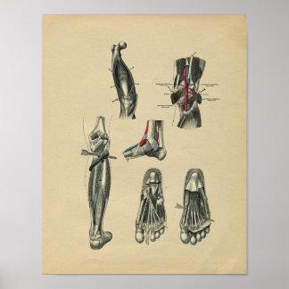 Anatomie de jambe de pied humain 1902 copies poster