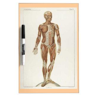 Anatomy Anterior Vintage Drawing Dry-Erase Whiteboard