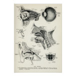 Anatomy - Human Senses Poster