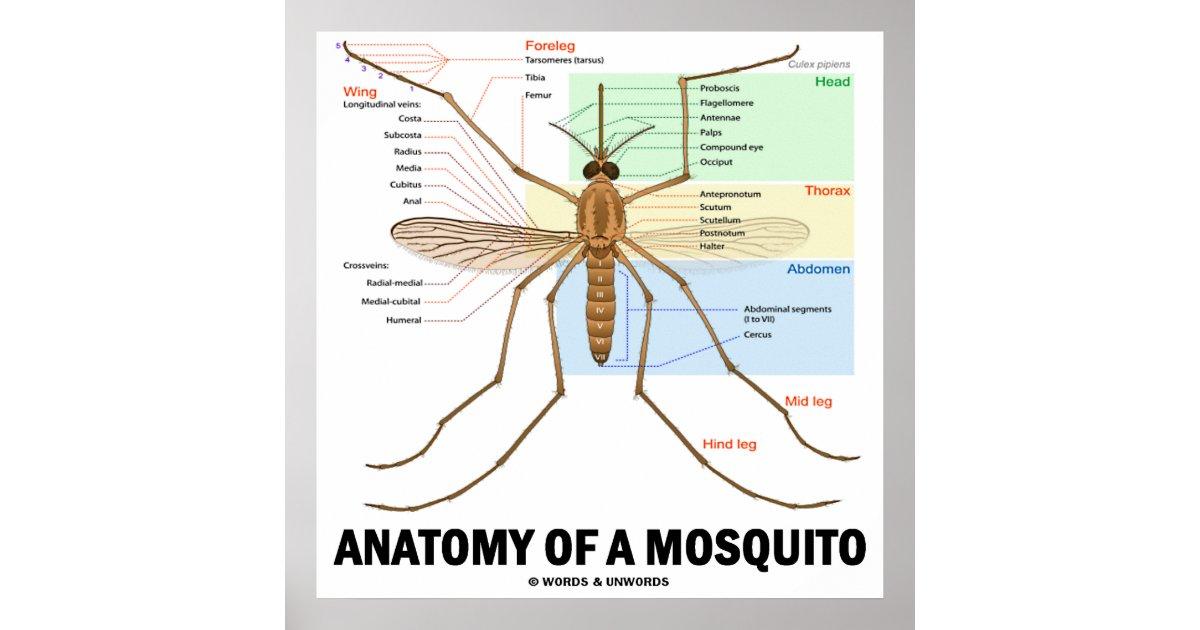 Anatomy Of A Mosquito (Entomology) Poster | Zazzle.ca