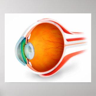 Anatomy Of Human Eye, Perspective Poster