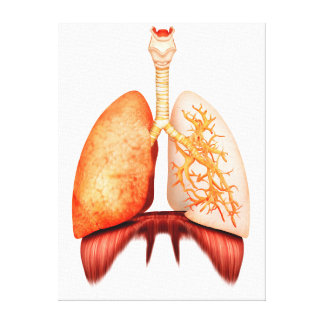 Anatomy Of Human Respiratory System, Front View Canvas Print