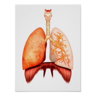 Anatomy Of Human Respiratory System, Front View Poster