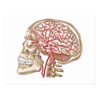 Anatomy Of Human Skull, Eyeball And Arteries Postcard