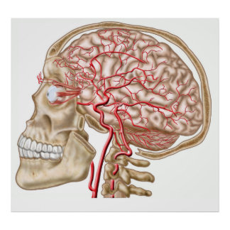 Anatomy Of Human Skull, Eyeball And Arteries Poster