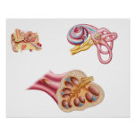 Anatomy Of The Cochlear Duct In The Human Ear Poster