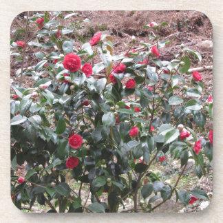 Ancient cultivar of Camellia japonica flower Coaster