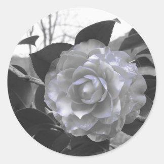 Ancient cultivar of Camellia japonica flower Round Sticker