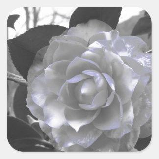 Ancient cultivar of Camellia japonica flower Square Sticker
