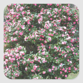 Ancient cultivar of Camellia japonica flower Square Sticker