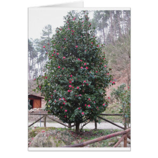 Ancient japanese cultivar of Camellia japonica Card