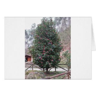 Ancient japanese cultivar of Camellia japonica Card