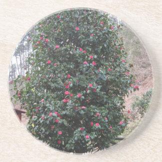 Ancient japanese cultivar of Camellia japonica Coaster