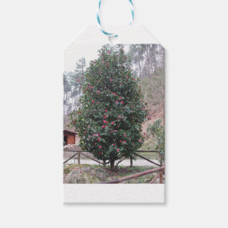 Ancient japanese cultivar of Camellia japonica Gift Tags
