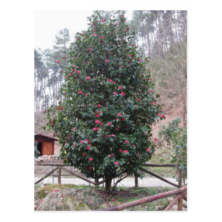 Ancient japanese cultivar of Camellia japonica Postcard