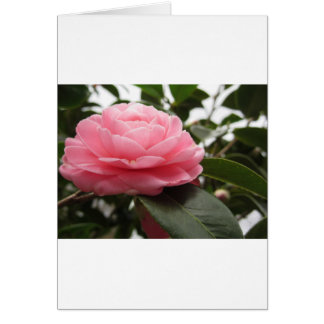 Ancient japanese cultivar of pink Camellia Card