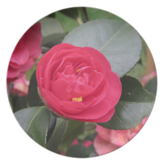 Ancient japanese cultivar of red Camellia japonica Plate
