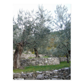Ancient Olive Trees Postcard