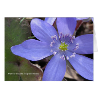 Anemone acutiloba, sharp-lobed hepatica card