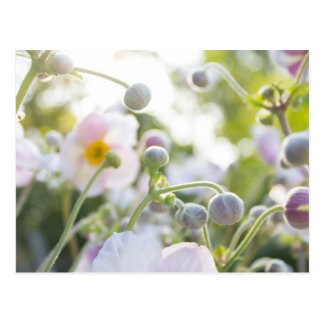 Anemone - pink/white flowers in sunlight postcard