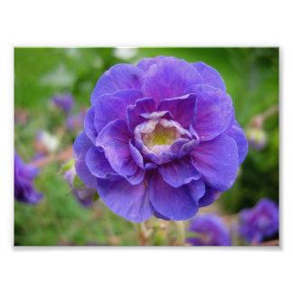 Anemone, purple flower, close up flower, nature photo art