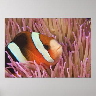 anemonefish, Scuba Diving at Tukang 2 Poster