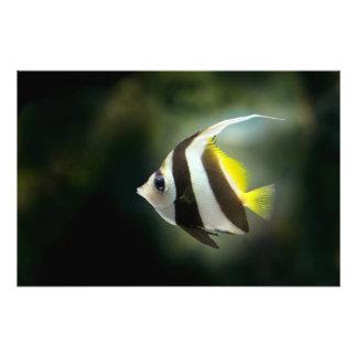 Angelfish Photo Print