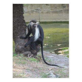 Angolan Black and White Colobus Monkey Postcard