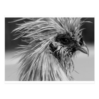 Angry Wet Silkie Chicken Postcard