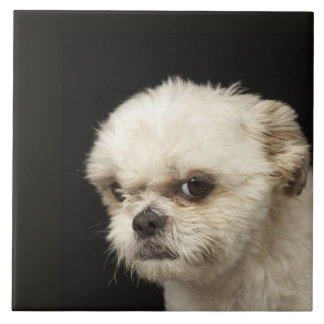 Angry white Shih Tzu with brown eyes Ceramic Tiles