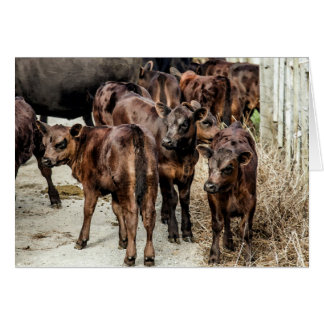 Angus Beef Cattle Calves Blank Greeting Card
