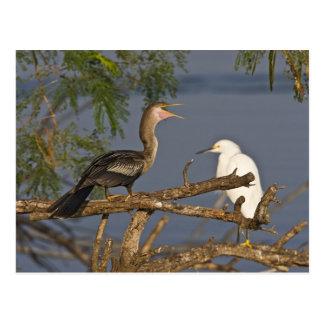 Anhinga (Anhinga anhinga) also known as snake Postcard