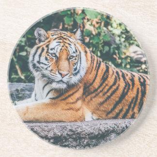 Animal Big Cat Safari Tiger Wild Cat Wildlife Zoo Coaster