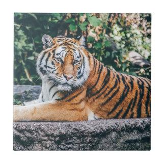 Animal Big Cat Safari Tiger Wild Cat Wildlife Zoo Tile