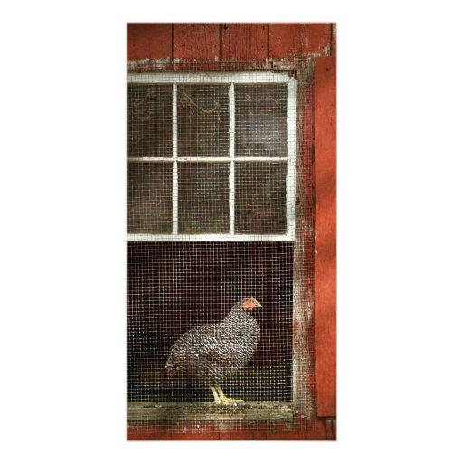 Animal - Bird - Chicken in a window Picture Card
